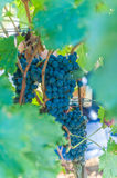 Ripe grapes on vine Stock Photography