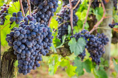 Ripe grapes on the vine Royalty Free Stock Image
