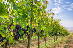 Ripe grapes on the vine Stock Image