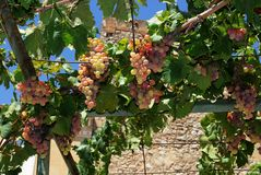 Ripe grapes on the vine, Spain. Royalty Free Stock Photography