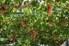 Ripe grapes on the vine, Spain. Stock Photo
