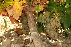 Ripe grapes on the vine, Spain. Royalty Free Stock Image