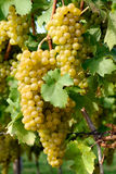 Ripe grapes in a vineyard. Close-up of ripe golden grapes hanging in the sunlight royalty free stock photography