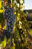 Ripe grapes in vineyard. Ripe bunch of Sangiovese grapes in a vineyard in the Chianti Classico region of Tuscany, Italy Stock Image