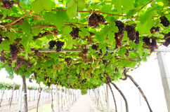 Ripe grapes in the vineyard. Royalty Free Stock Photo