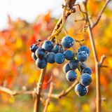 Ripe Grapes in Vineyard Royalty Free Stock Images