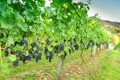 Ripe grapes Royalty Free Stock Photo