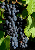 Ripe Grapes in the Vineyard Royalty Free Stock Images