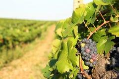 Ripe grapes in vineyard Stock Images