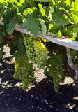 Ripe grapes at vineyard, La Geria, lanzarote Stock Photography
