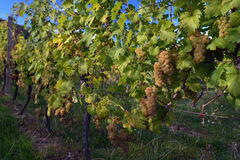Ripe grapes. In a vineyard ready to pick in autumn in the south moravía Stock Photography