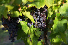 Ripe grapes. In a vineyard ready to pick in autumn in the south moravía Royalty Free Stock Images