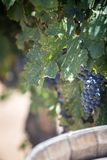 Ripe Grapes for Wine over Barrel. With copy space royalty free stock photography