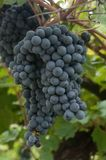 Variety of black grape royalty free stock photography
