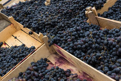 Ripe grapes in wooden boxes Royalty Free Stock Photo