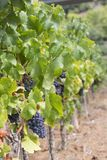 Ripe grapevine for red wine in the valley stock photography