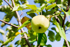 Ripe green apple Royalty Free Stock Image