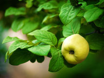 Ripe green apple on tree Royalty Free Stock Images