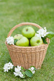 Ripe green apples in basket Royalty Free Stock Image