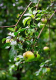 Ripe green apples with drops after rain Royalty Free Stock Photography