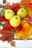 Ripe, green apples in the garden, Autumn time Stock Photography