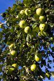 Ripe green apples hanging in a tree. Closeup photo of ripe green apples hanging in a tree Stock Photos