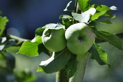 Ripe green apples on tree Stock Image