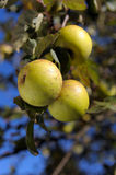 Ripe green apples on a tree branch Stock Images