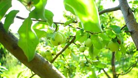 Ripe green apples on a tree branch stock video footage