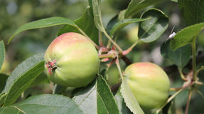 Ripe green apples on tree. Closeup of two ripe green apples on leafy tree Royalty Free Stock Photo