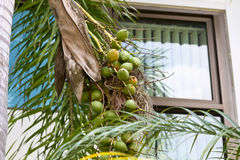 Ripe and Green Betel Nut Or Areca Nut Royalty Free Stock Images