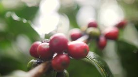 Ripe and Green Coffee Berries at Organic Plantation Farm. Bali, Indonesia. 4K Slowmotion.