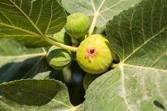 Ripe green fig Stock Image