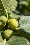 Ripe green fig Stock Photography
