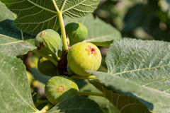 Ripe green fig Royalty Free Stock Photo