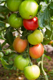 Ripe and green garden tomatoes Stock Photography