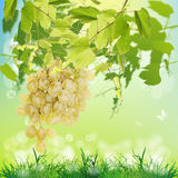 Ripe green grape Stock Photography