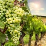 Ripe green grapes Stock Image
