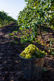 Ripe green grapes in autumn. Harvesting wine grapes. Bucket with green grapes Stock Images