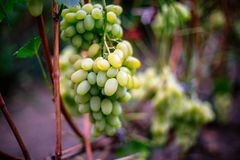 Ripe green grapes on a branch Royalty Free Stock Photos