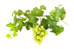 Green grapes on branch Royalty Free Stock Image