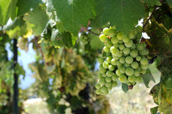 Ripe green grapes in vineyeard. Stock Photo