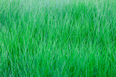 Ripe green grass background Stock Image