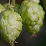 Ripe green hop cone.Beer production. Stock Photo