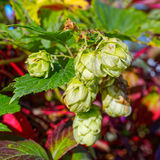 Ripe green hop cones with leafs Stock Photo