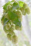 Ripe green hop cones with leafs taken closeup. Royalty Free Stock Images