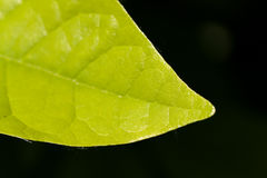 Ripe,green Leaves of Cherry Laurel Royalty Free Stock Images