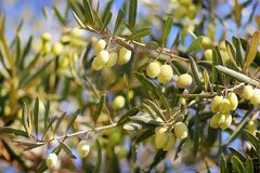 Ripe green olives, grades syrian. On a branch of an olive tree stock photo