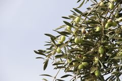 Ripe green olives on olive tree Stock Photos