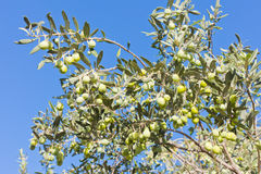 Ripe Green Olives on Tree Royalty Free Stock Photo